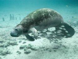 Lebih dari 800 Dugong Mati di Florida Tahun Ini, Rekor Tertinggi Sepanjang Sejarah